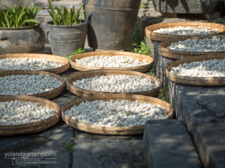 Silk worm pods drying in the sunshine